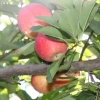 countyorchard_0434