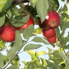 countyorchard_0435