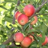 countyorchard_0437