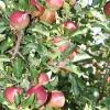 countyorchard_0448