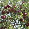 countyorchard_0451