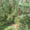 countyorchard_0462