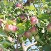 countyorchard_0468