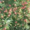 countyorchard_0470