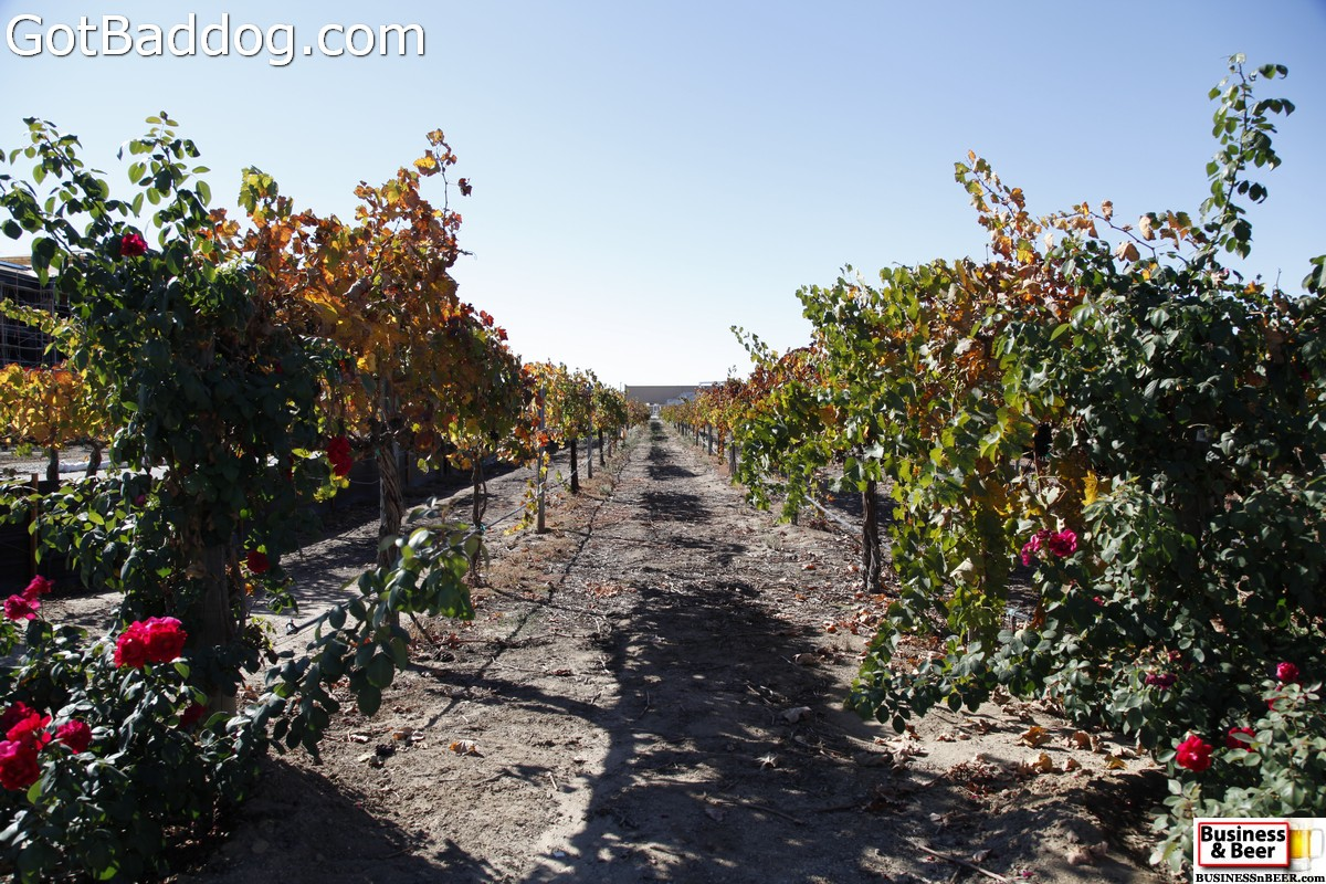 vineyards_3473