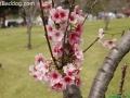 CherryBlossom_9761