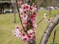 CherryBlossom_9762